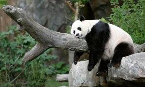 Giant panda Mei Xiang takes a nap
