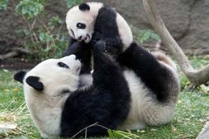 Pandas-e1362069309544